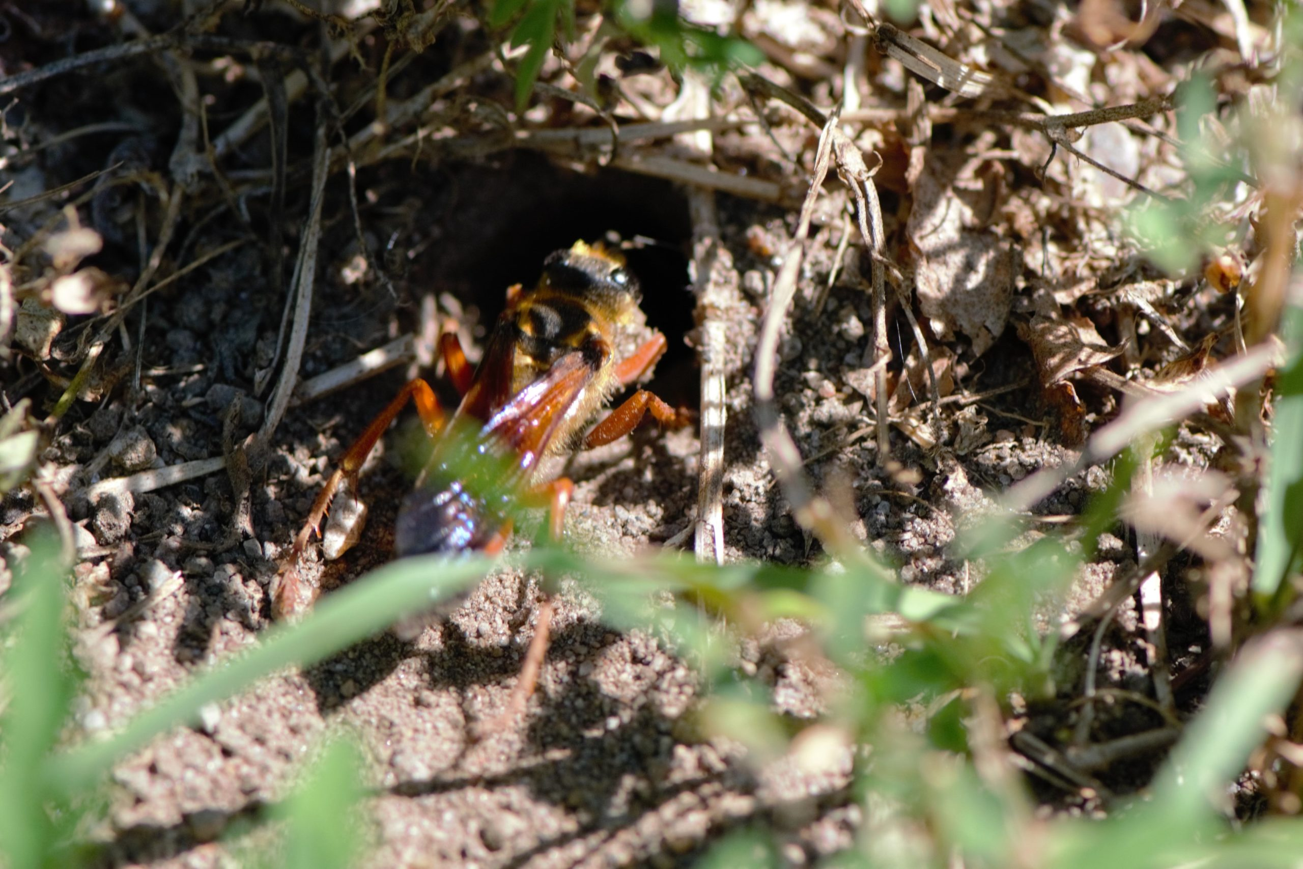 Great Golden Digger Wasp Nesting Collingwood by M Yvonne Gibson