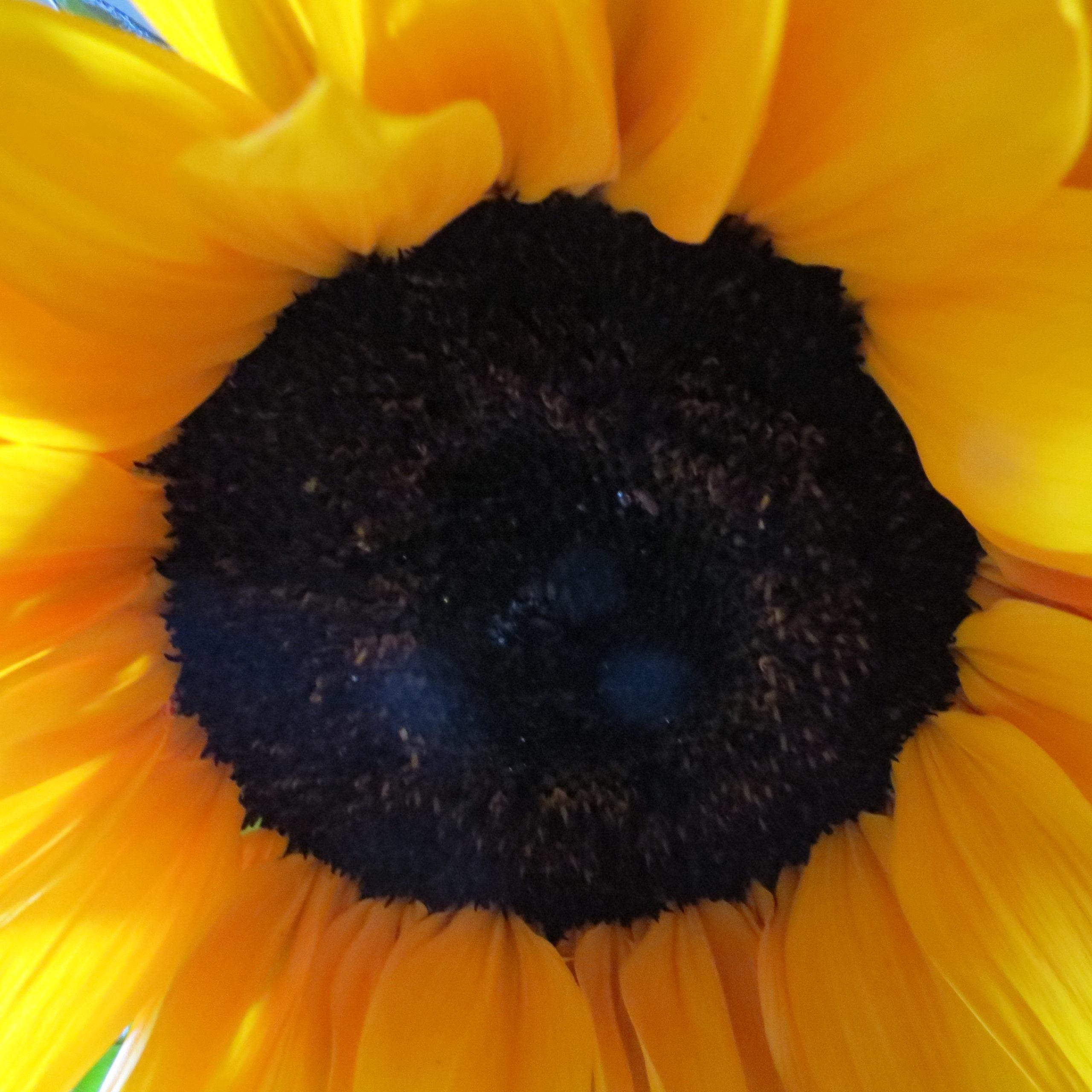sunflower by Piper Allen